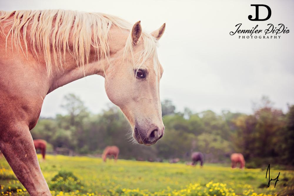 horses-buttercups-may-58-Edit.jpg