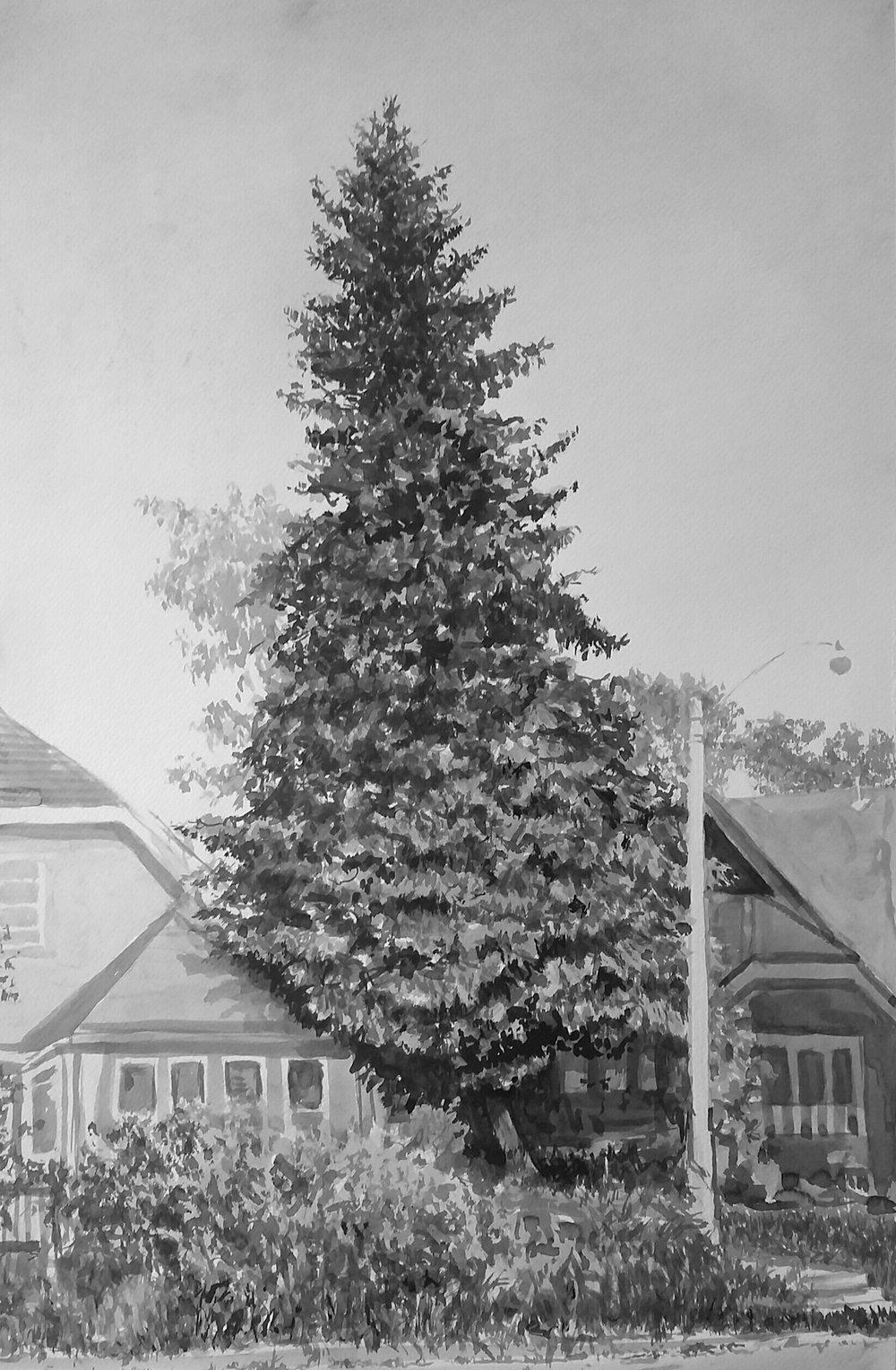 Pierce Street Pine