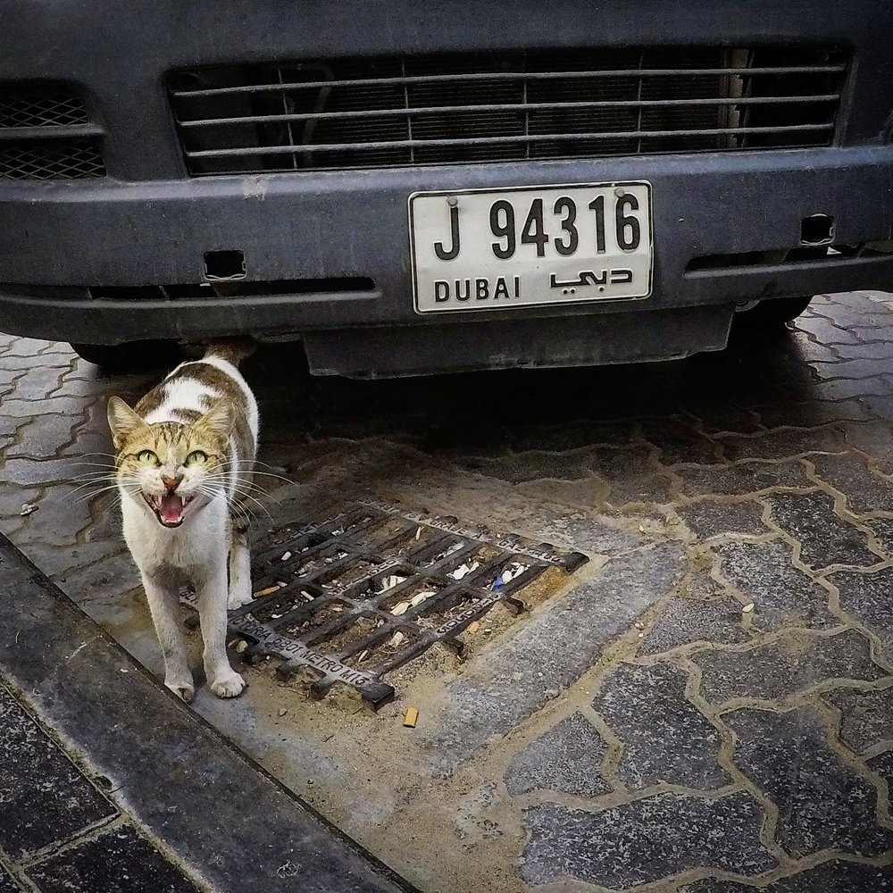 Stray cat, Sharjah, United Arab Emirates