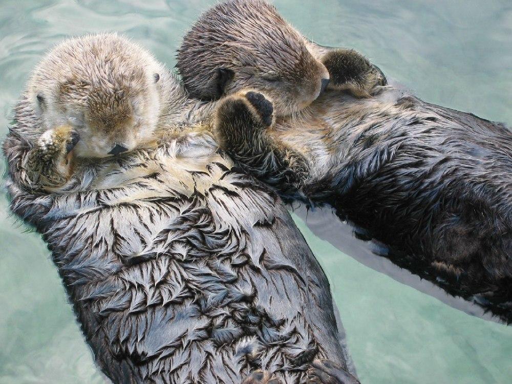 Image via:http://upload.wikimedia.org/wikipedia/commons/7/79/Sea_otters_holding_hands.jpg