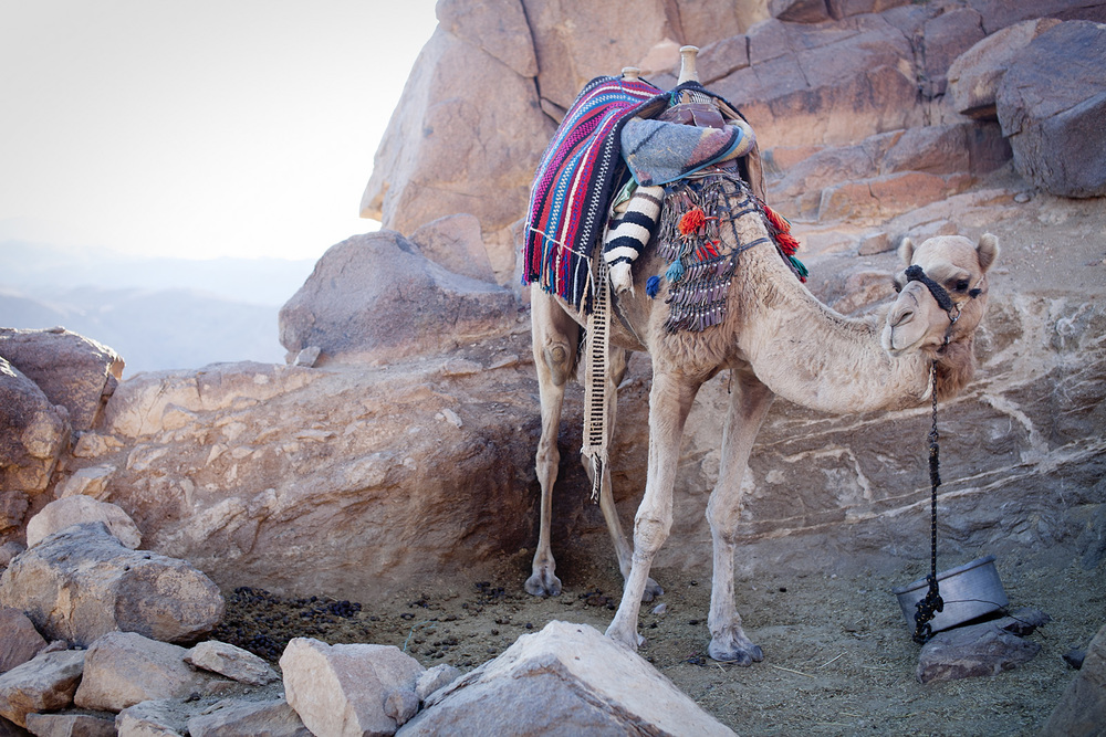 One of a family of camels that live on the mountain, carrying tourists up and down for a fee paid to local guides.