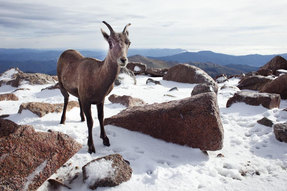 Mt Evans wildlife