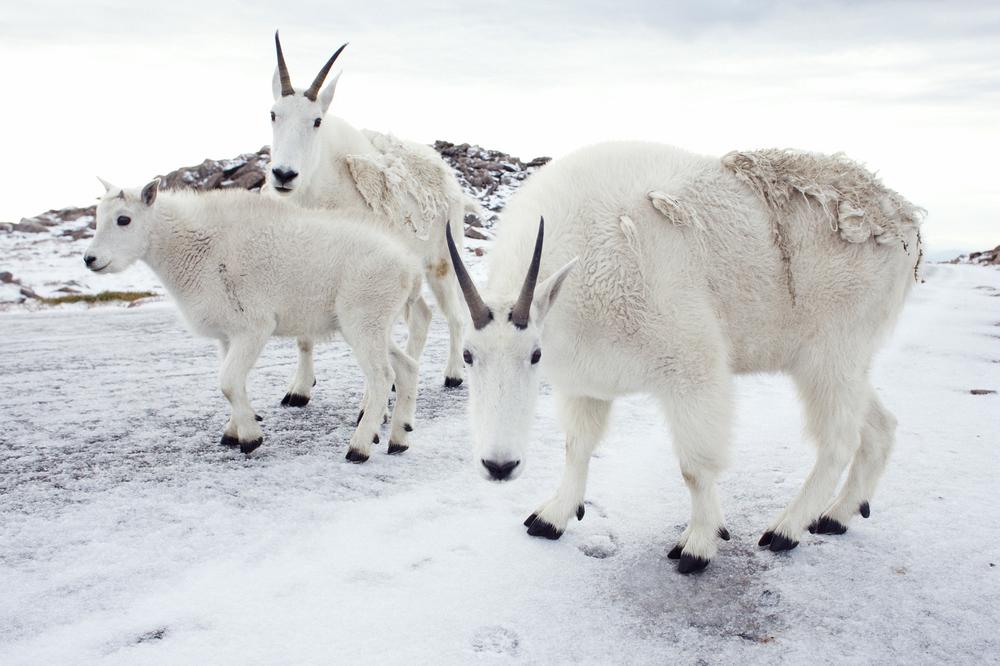goats on mt evans