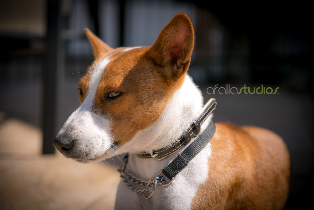 dallas-pet-portrait-basenji-2.jpg