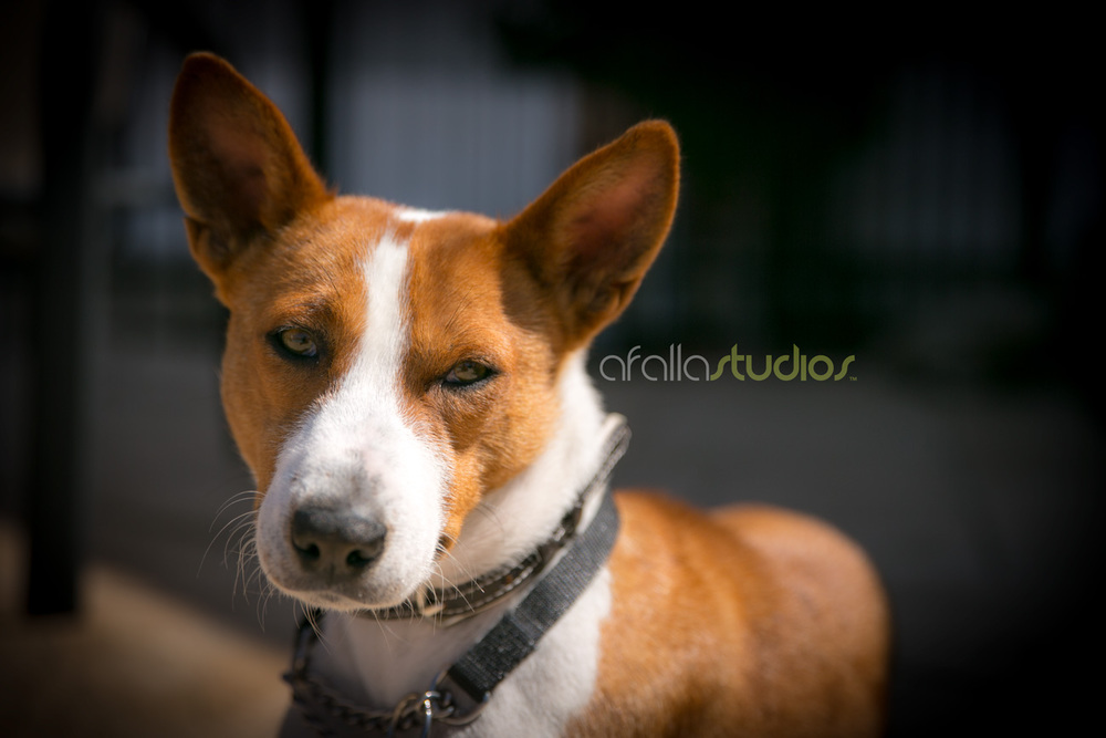 dallas-pet-portrait-basenji-3.jpg