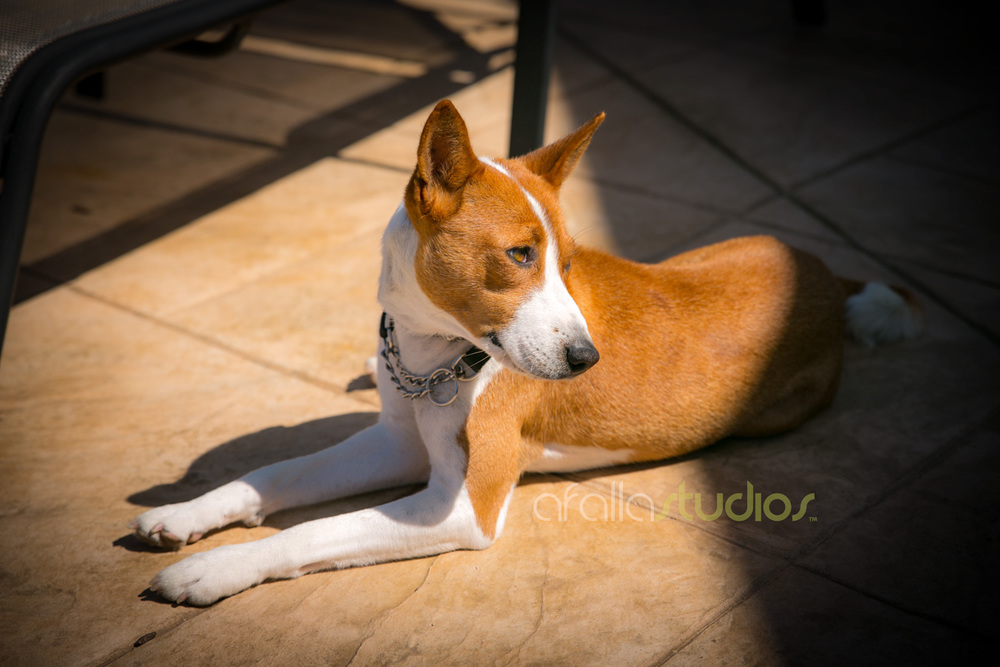 dallas-pet-portrait-basenji-1.jpg