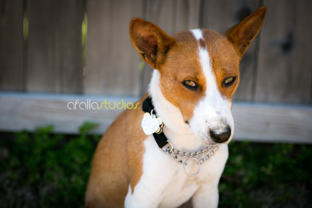 dallas-pet-portrait-basenji-5.jpg