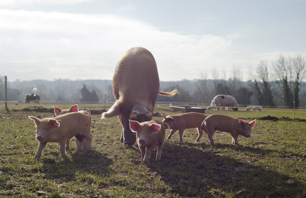 Happy little piglets on their land near Woodbridge, Suffolk