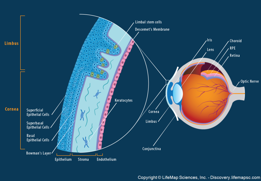 "Figure 13:  The cornea of an eye that is the equivalent of a black hole's ""event horizon"".  Beyond that threshold, only the internal singularity can define and decide whether the information absorbed is actionable, thought worthy, or passive."
