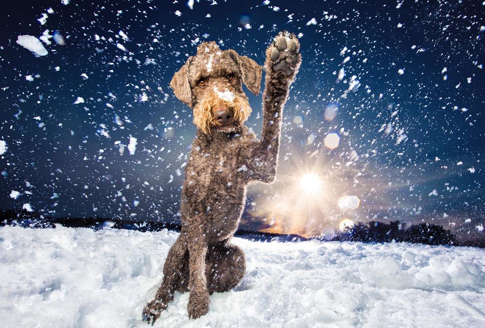snow-poodle.jpg