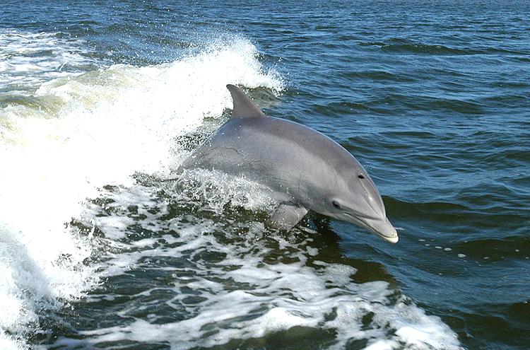 I den takt som den japanska delfinslakten blir känd, desto kraftigare blir protesterna. Bild: WikiMedia Commons