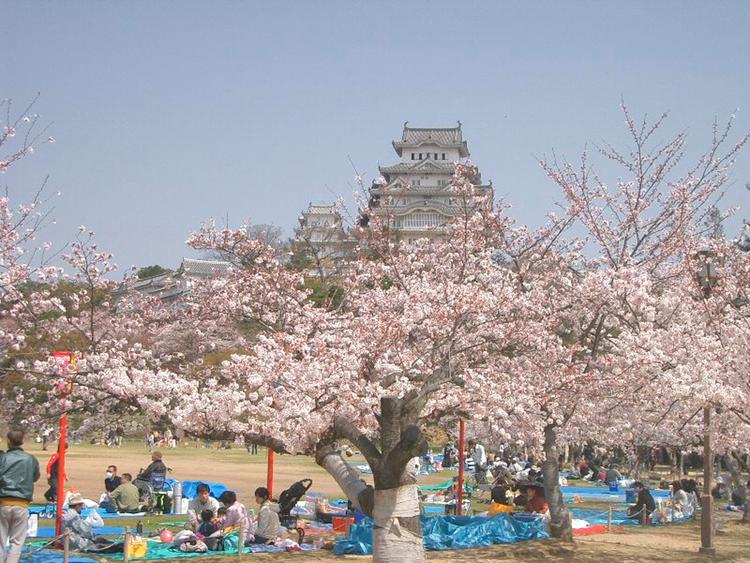 Körsblomningen är här. Tack vare strategiskt planterade träd, kan det hela beskådas på väldigt många platser i landet. Här vid Himeji Castle en bit från Kobe.  Foto: Wikimedia Commons