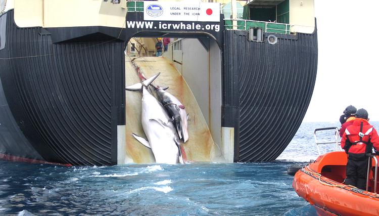 """Klicka på bilden för att förstora den så att du kan läsa texten på båten.. principiellt korrekt, men Japan har nu fått sin första ordentliga bakläxa för sitt """"experimentella"""" valfiske. Foto: Wikimedia Commons"""