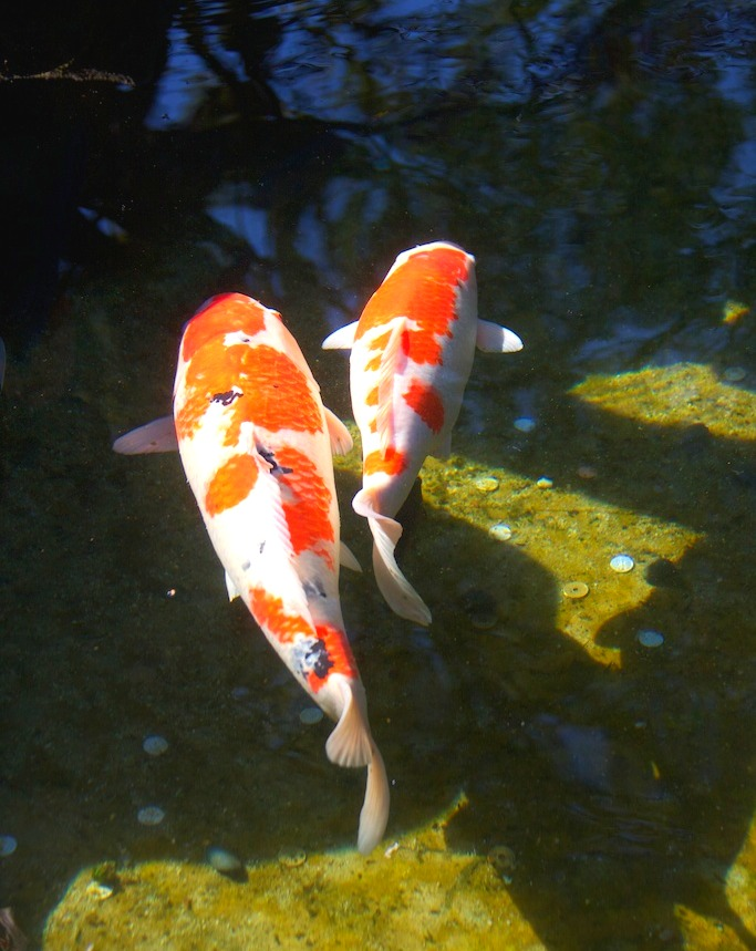 Världens vackraste fiskar? Japanska karpar - koi. Foto: Rieko Mise