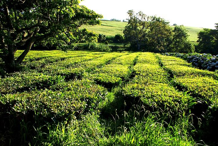Japanskt grönt te odlas i Portugal - tänka sig!