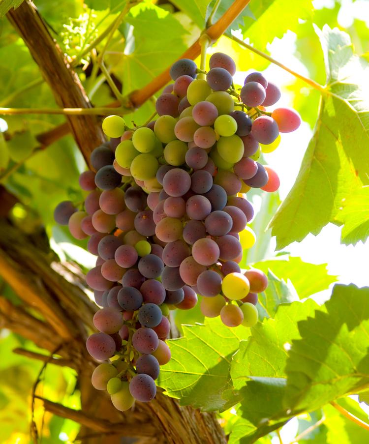Vindruvor är goda i Japan. Men som nästan all sorts frukt i Japan är det inte billigt.