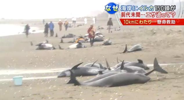 Ingen vet egentligen varför valar försöker begå kollektivt självmord på det här viset. Samma sak hände en vecka före jordskalvet utanför Tohoku 2011.