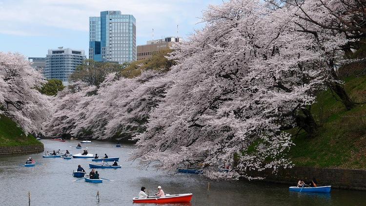 Körsbärsblommebeskådan i centrala Tokyo.  Foto: Public Domain