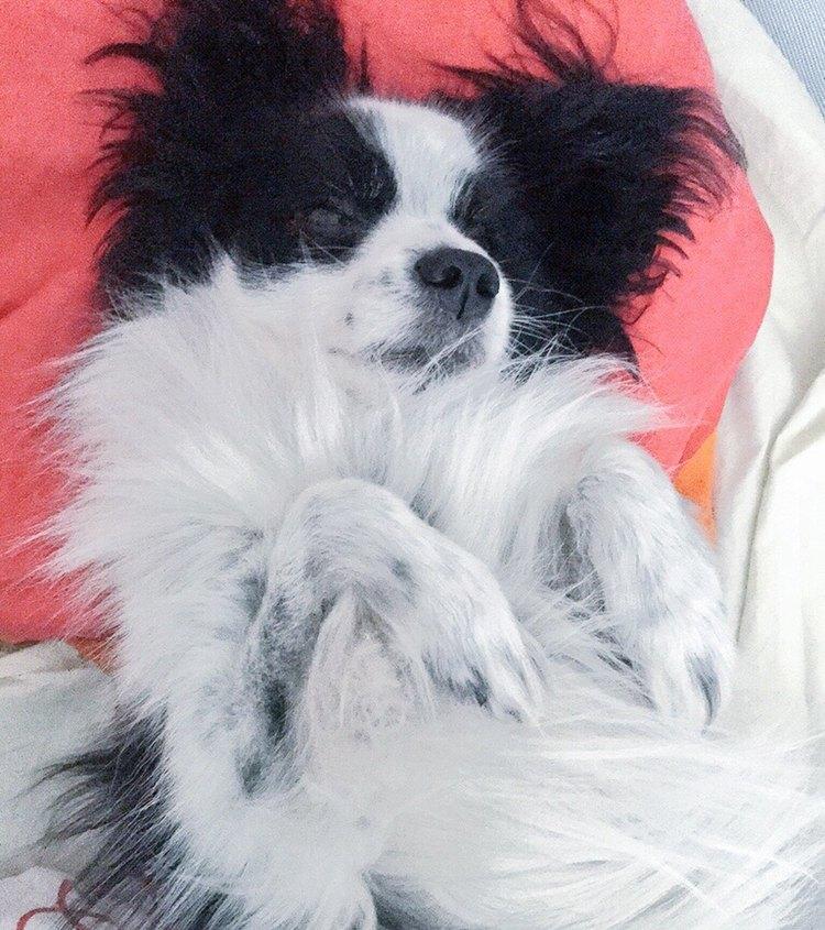 Denne papillon är visserligen bara halv-japan, i det att han förstår de för honom viktigaste orden på både japanska och svenska, men han får ändå symbolisera Hundens År i Japan.Denna pose intar han gärna när han tar sig en tupplur.