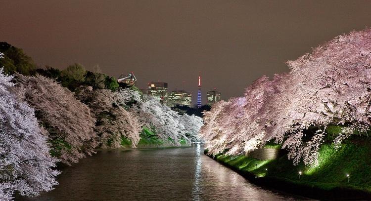 Chidorigafuchi heter en plats vid kejserliga palatsets vallgrav där man kan avnjuta utsikter av detta slag när körsbärsträden blommar i början av april.  Foto: Copyright Yuji Makiuchi (used with permission)