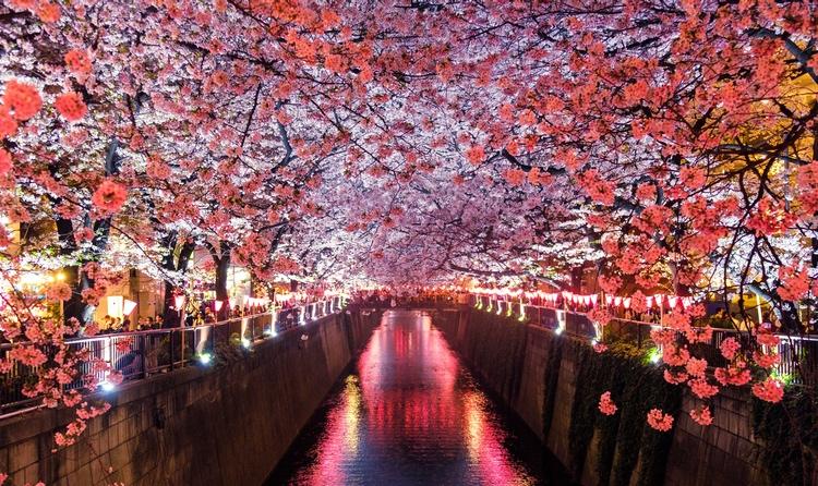 Körsbärsblomningen i Japan är bedårande vacker både dag och natt..  Foto: Sora Sagano (Public Domain)
