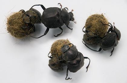 poop-beetles
