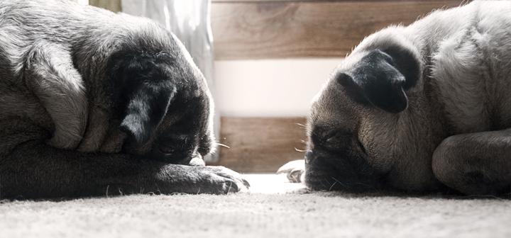 sleepy-pugs