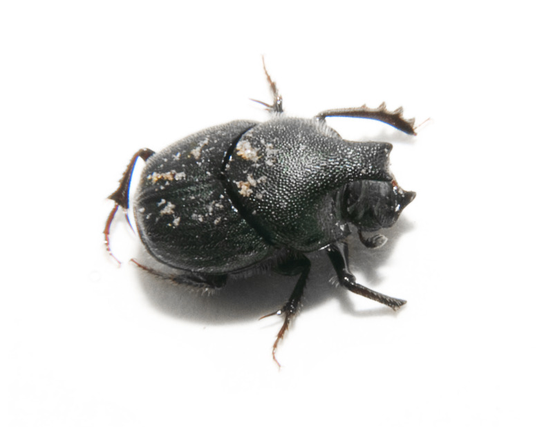horned dung beetle