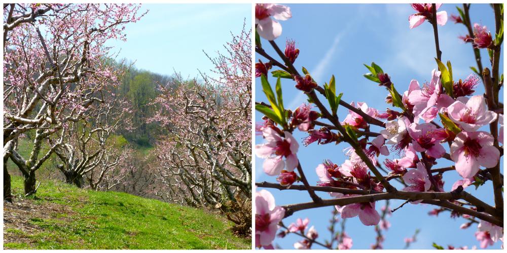 Peach blossoms!