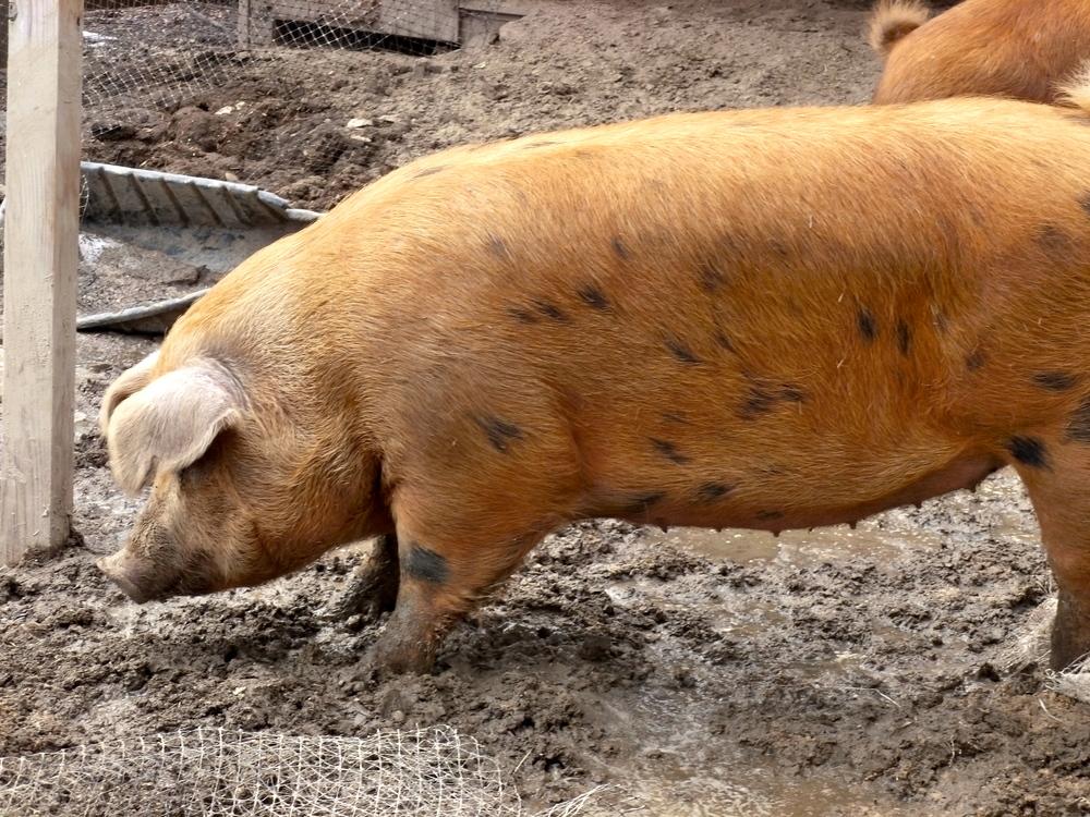 Massive 500# pig