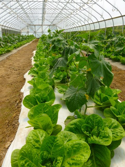 Lettuce and English cucumbers