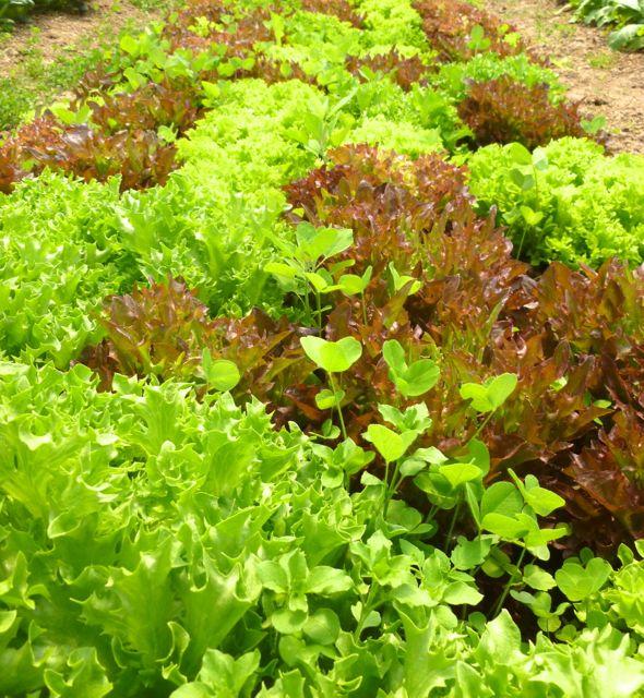 A lot of lettuce!