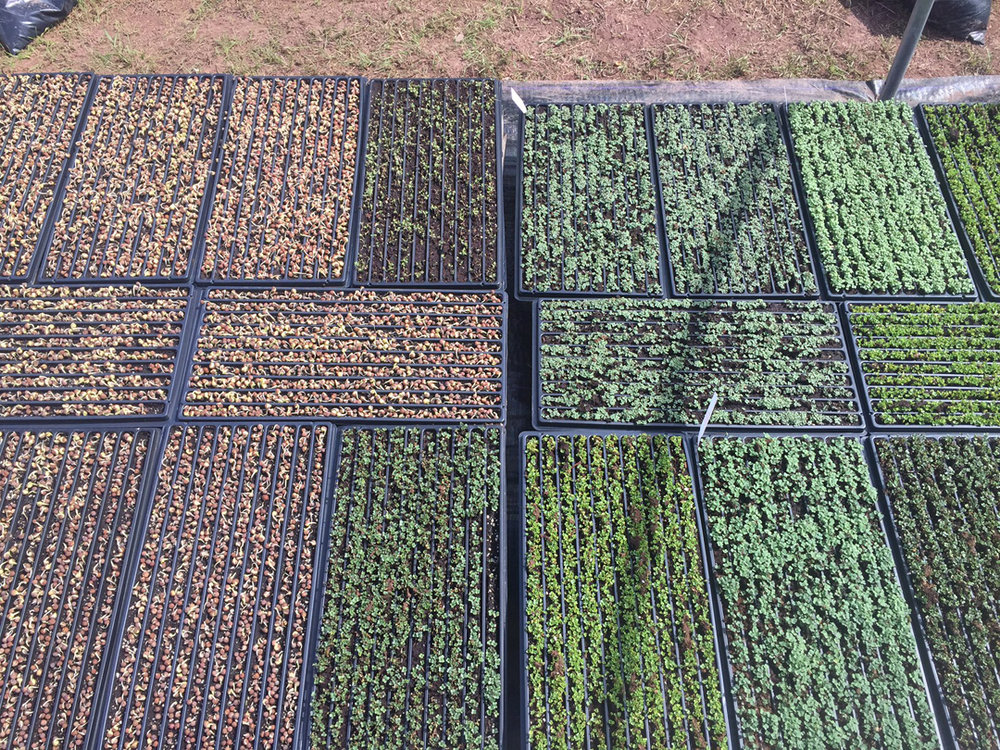 Microgreens and pea shoots