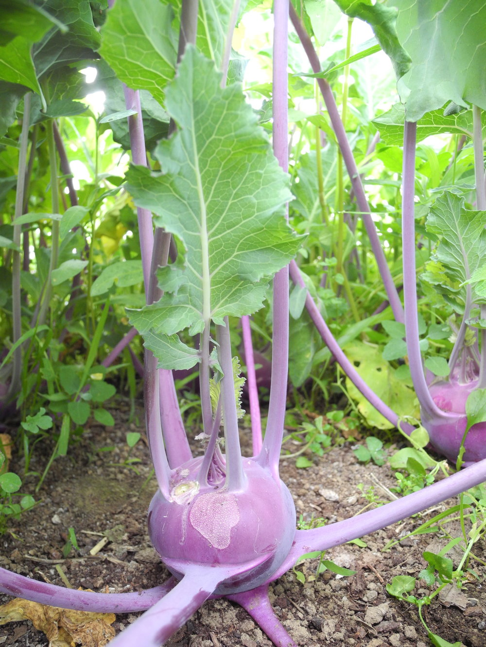 A peek at the spring crop of kohlrabi - alien like!