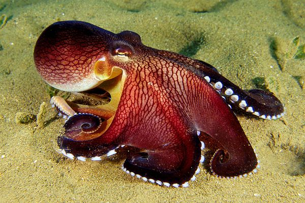 This clever octopus is using a coconut shell as a makeshift shelter.
