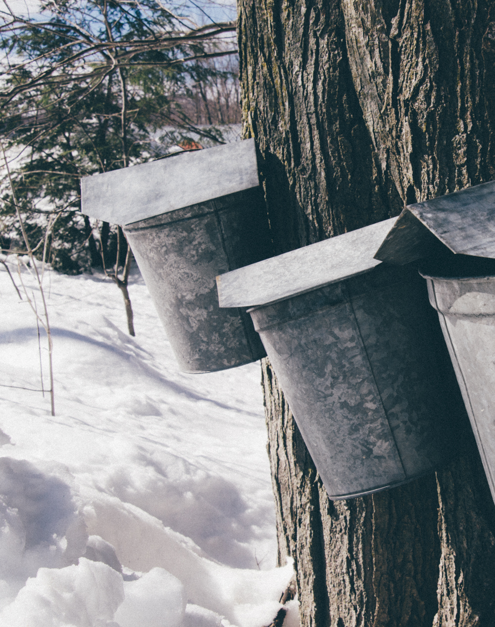 f8938316030 Making maple syrup in New England has been a tradition for hundreds of  years. People look forward to sugaring season ...