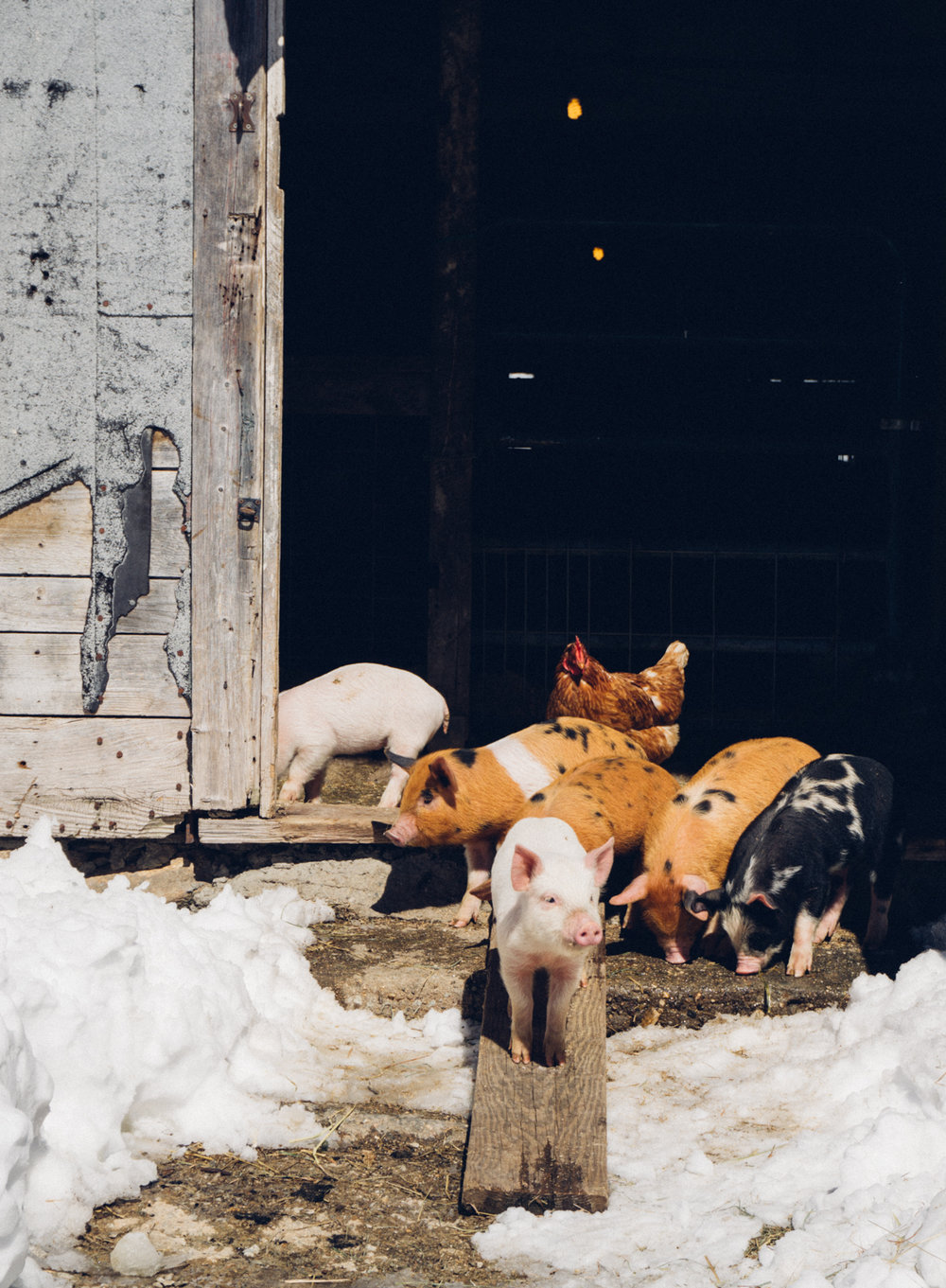 New piglets on the farm find their way out to the snowy barn yard.