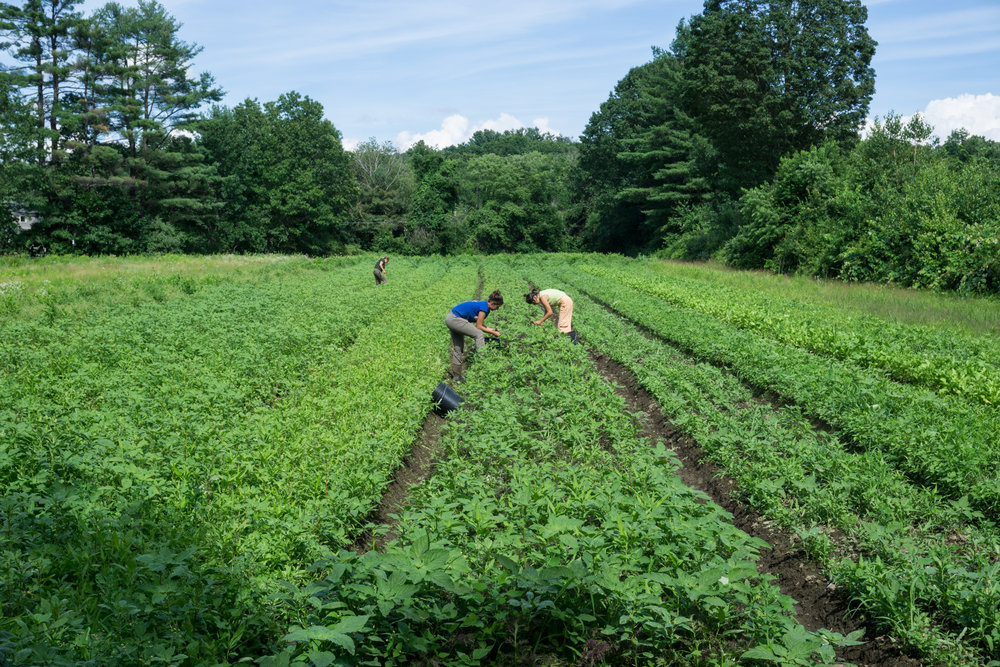 Siena Farms currently cultivates 50 acres of protected farmland.