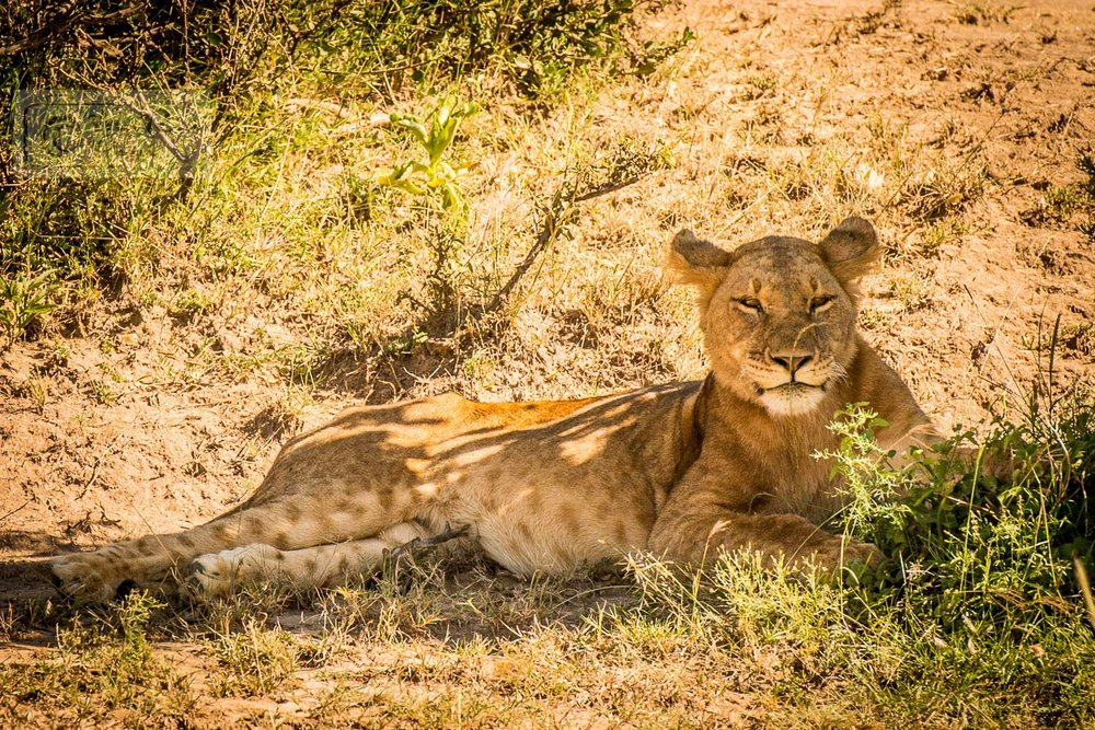 AFRICAL LION