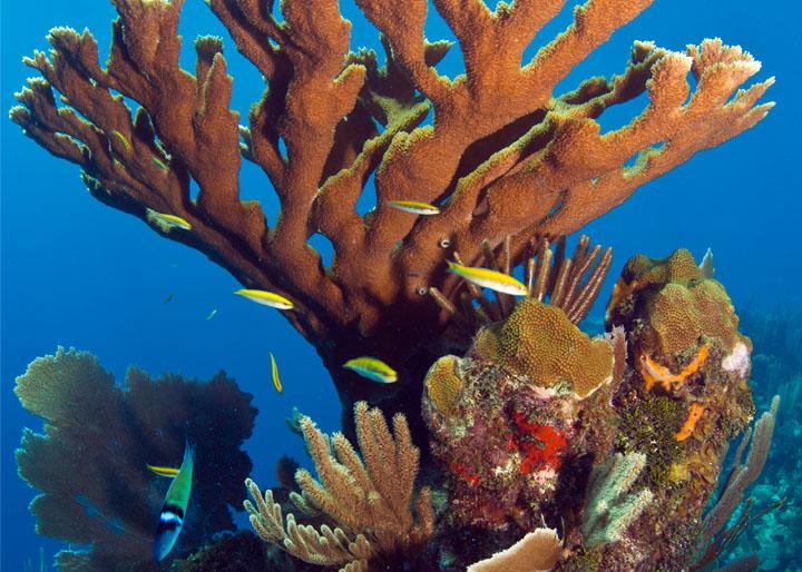 dreamstime_15632751_elkhorn coral.jpg