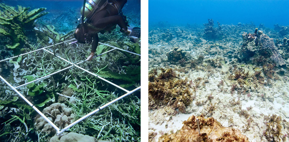 Reef managers need timely information about reef degradation, the conditions that cause it and the implications for reef stakeholders. This pair of images (1978 & 2011)  from Jamaica shows the type of degradation that has occurred on some Caribbean reefs.  (© James Porter and David Arnold | Marine Photobank).