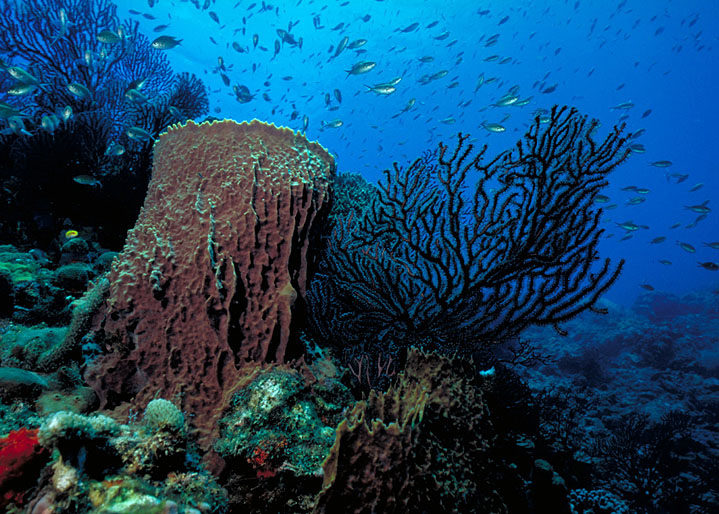 41 Black Coral & Barrel Sponge_Chuck Savall.jpg