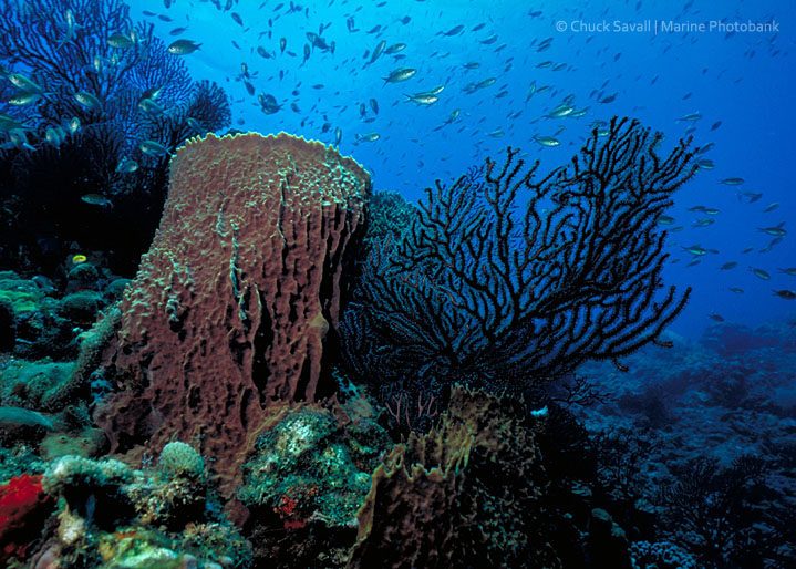 Barrel sponge and black coral, St Lucia