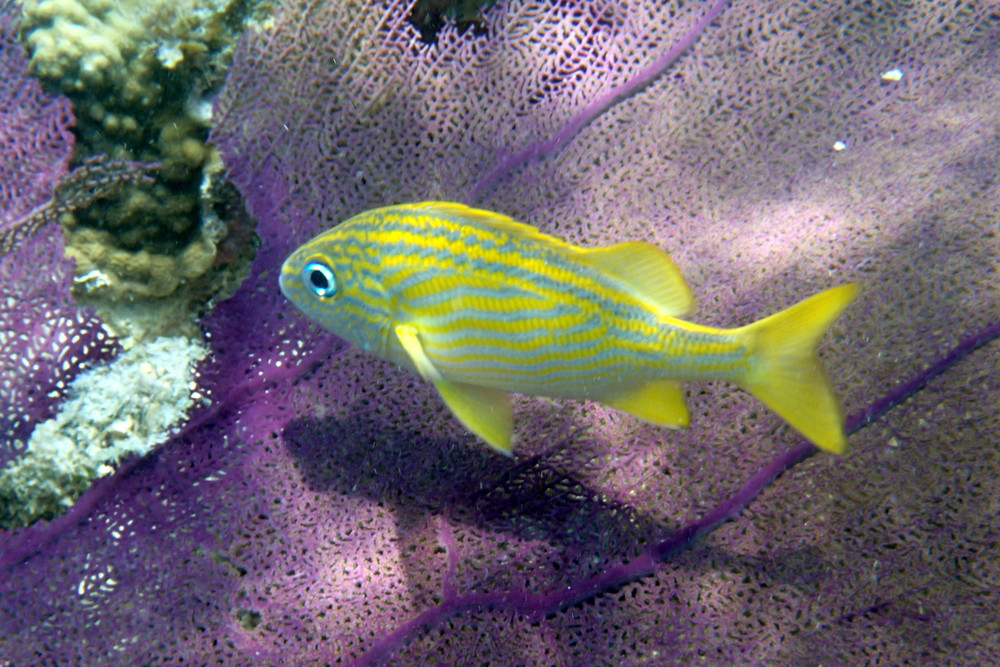 Fish over seafan_Silk Caye_Belize_May2013.JPG