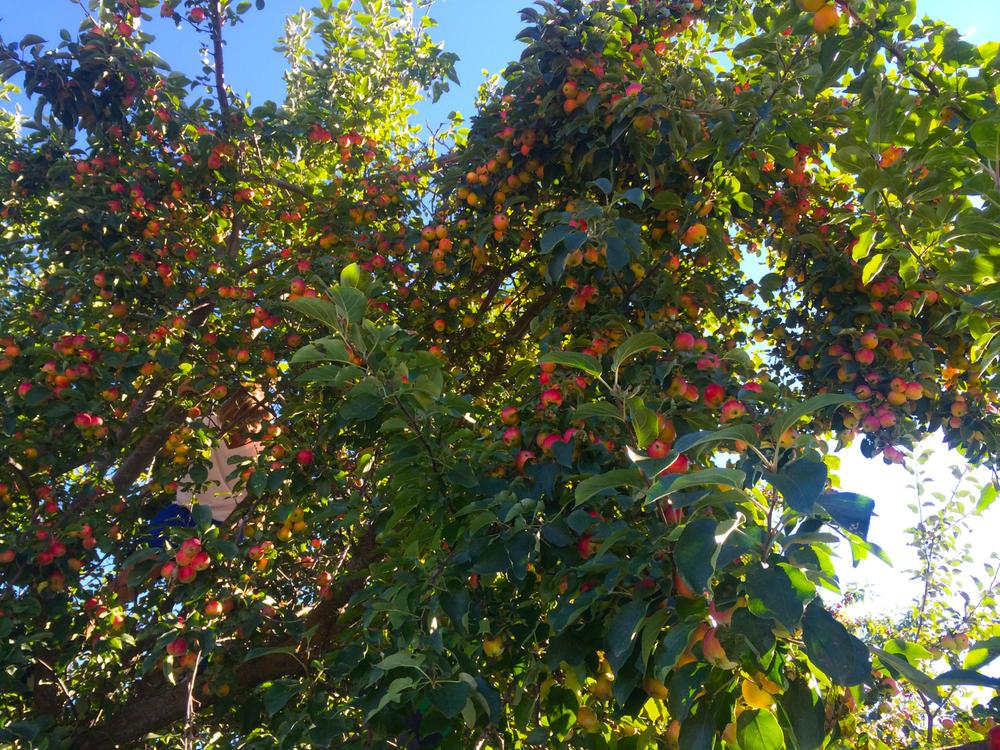 apples on a tree.jpg
