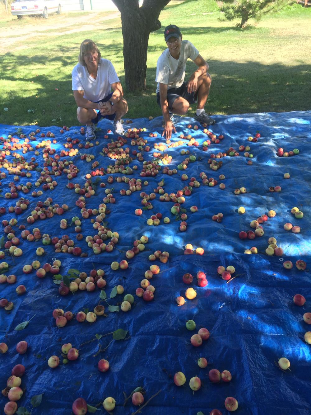 apples on a tarp.jpg