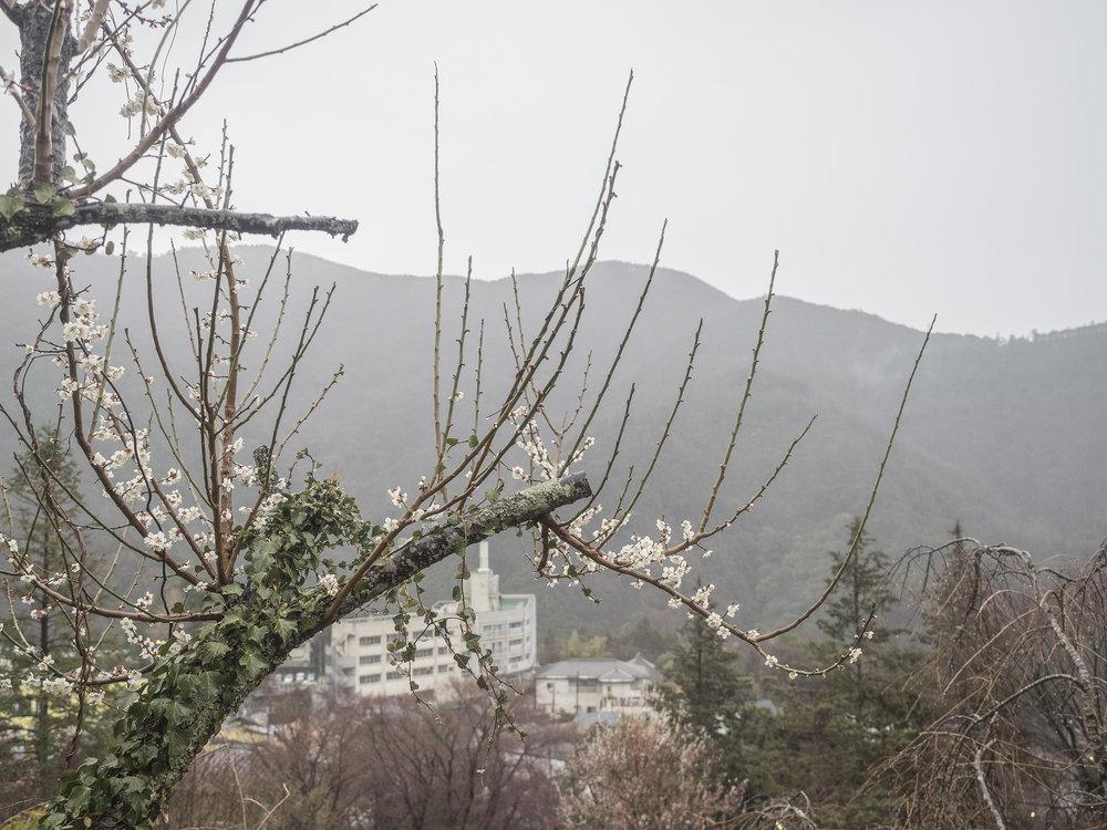 Sakura_Japan_016.jpg