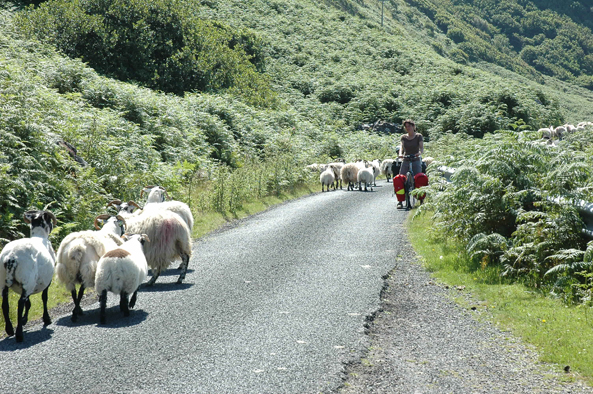 sheep on mull.jpg