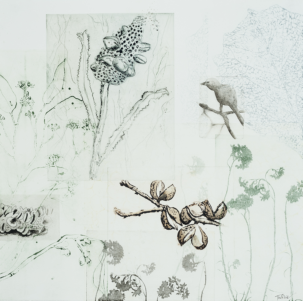 Trudy Rice 'Bird and banksia' Solar plate etching on paper 50x50cm 2014