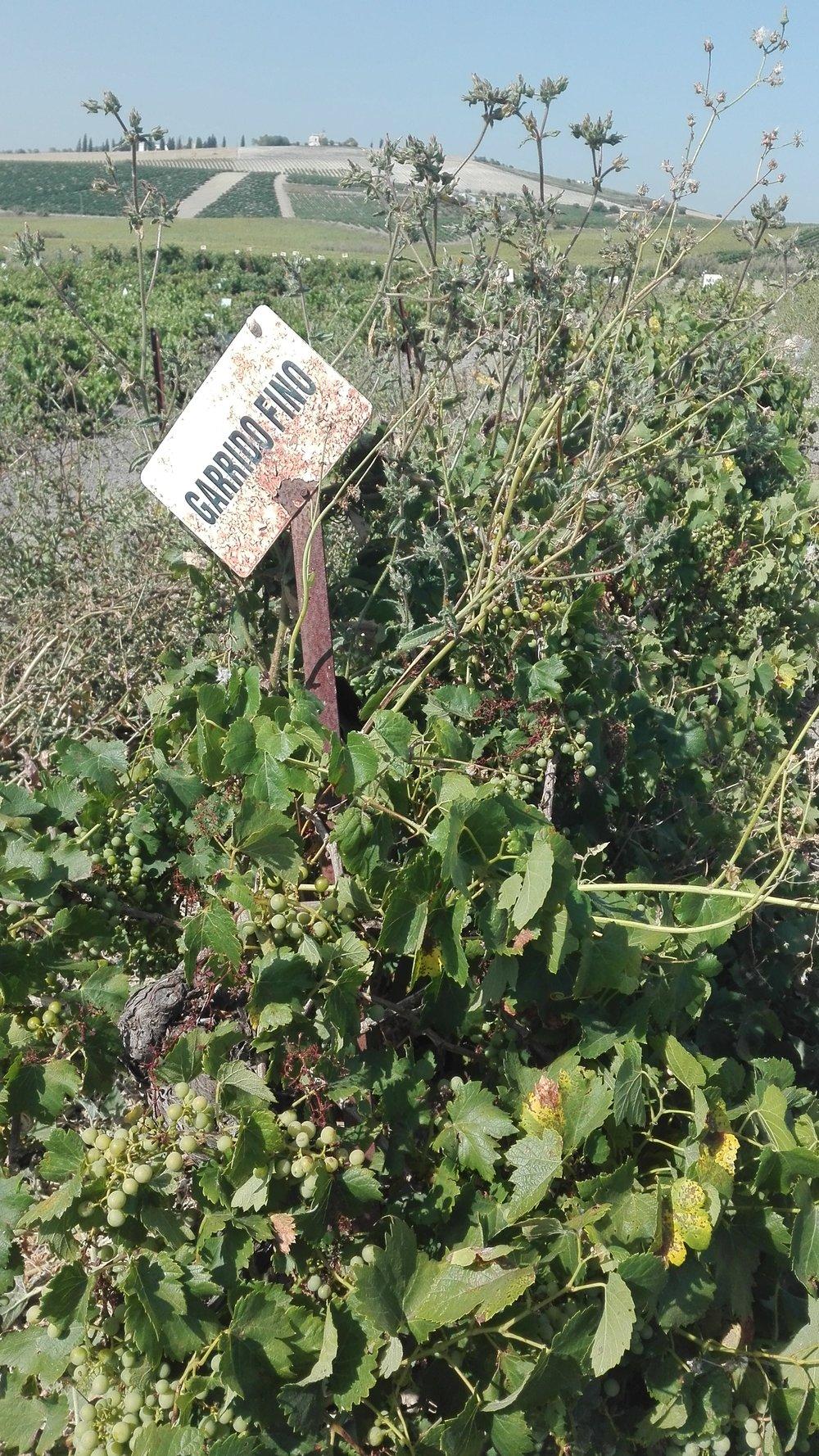 viñas  (4).jpg